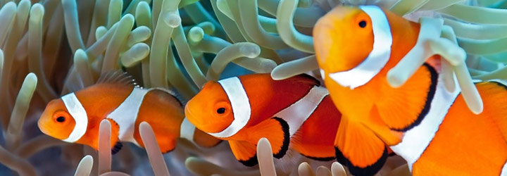 collection of clownfish coloring pages